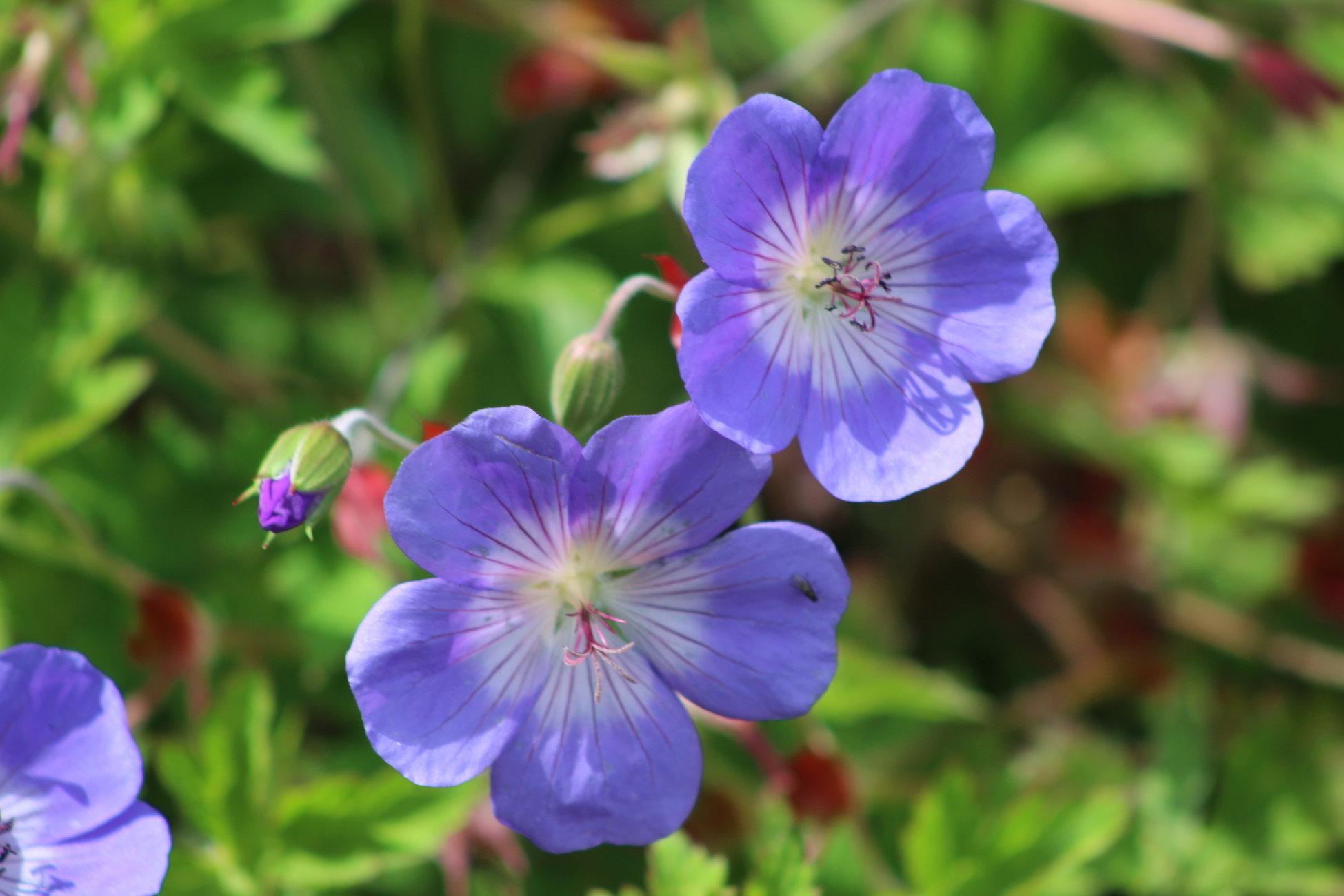 Purple Geranium ? Back Garden July 2020