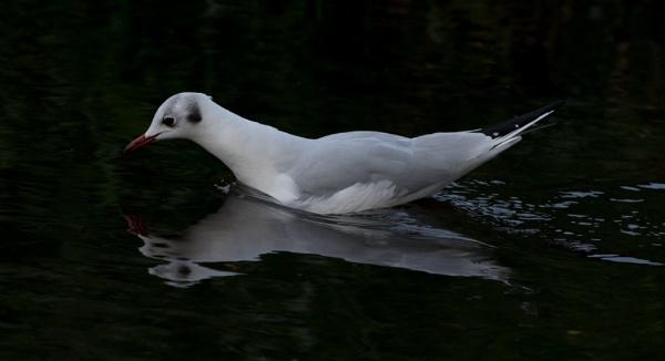 Black Headed Gull by nicholl