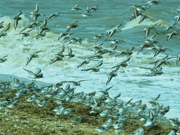 Sanderlings by GwB