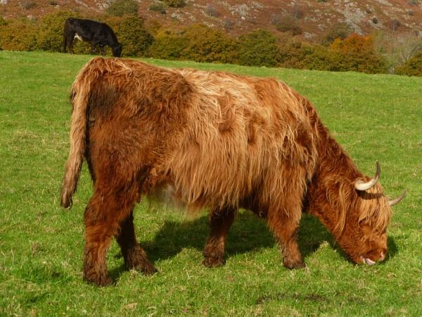 Highland Cow by Samantha011208