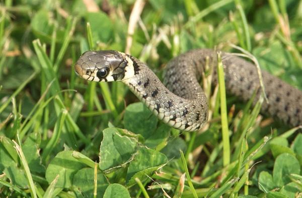 Grass Snake by Samantha011208
