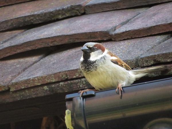 House Sparrow by Samantha011208
