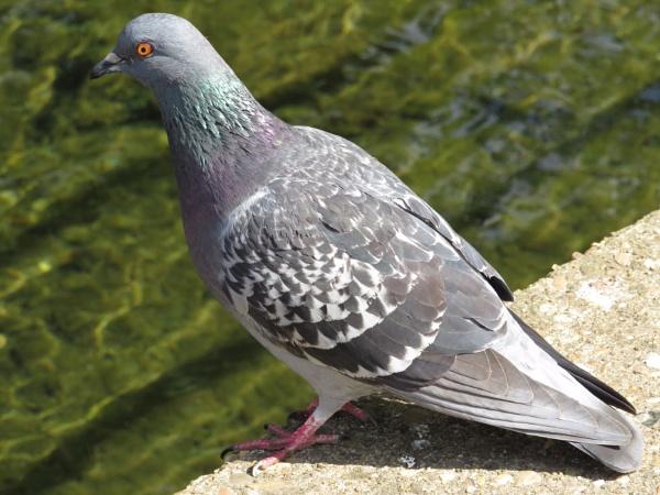 Orange-eyed Pigeon by Samantha011208
