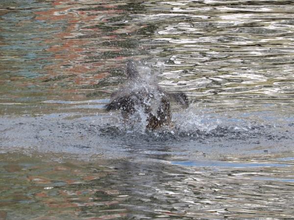 Splashing Duck by Samantha011208