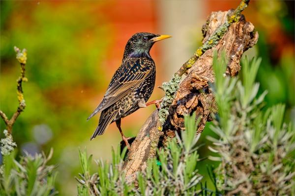Starling by photographerjoe