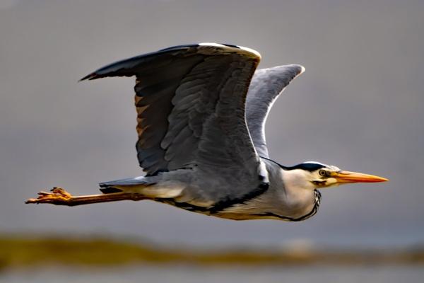 Heron Fly Past by terra