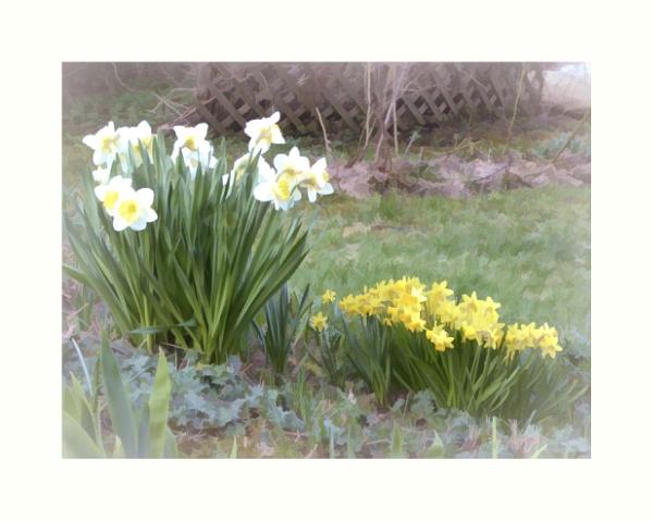 Daffodils a la Monet by Joline