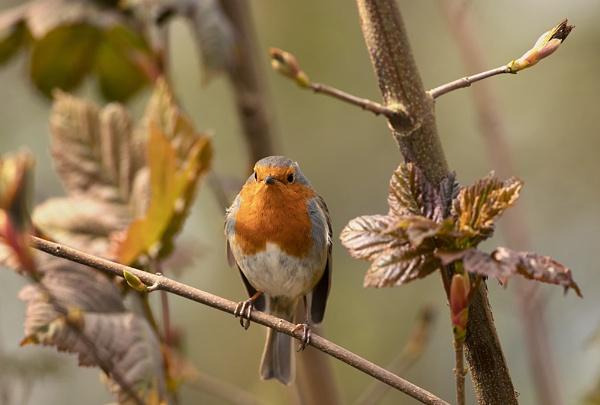 Robin. by Buffalo_Tom