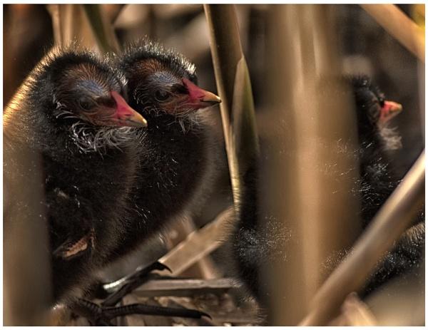 Moorhen Chicks in the Nest. by Buffalo_Tom