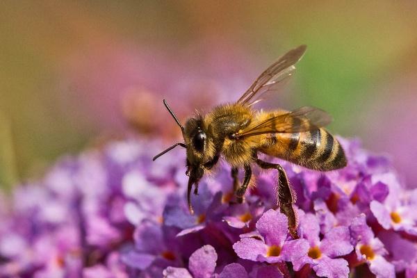 A Honey Bee (Apis mellifera) by johnsd
