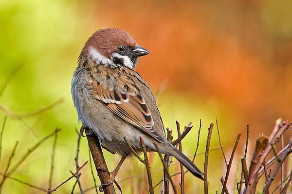 A Â'Tree SparrowÂ' by johnsd