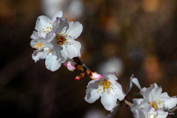 Almond blossom by Neopolis