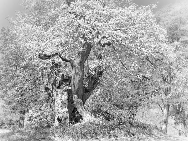 Ancient Oak by mitchellhatpeg