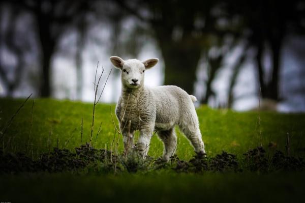 Lamb by kelvin7