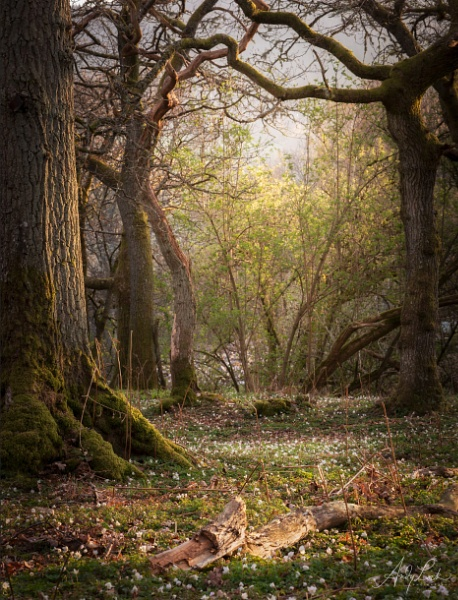 Enchanted woodland on the doorstep by andylock