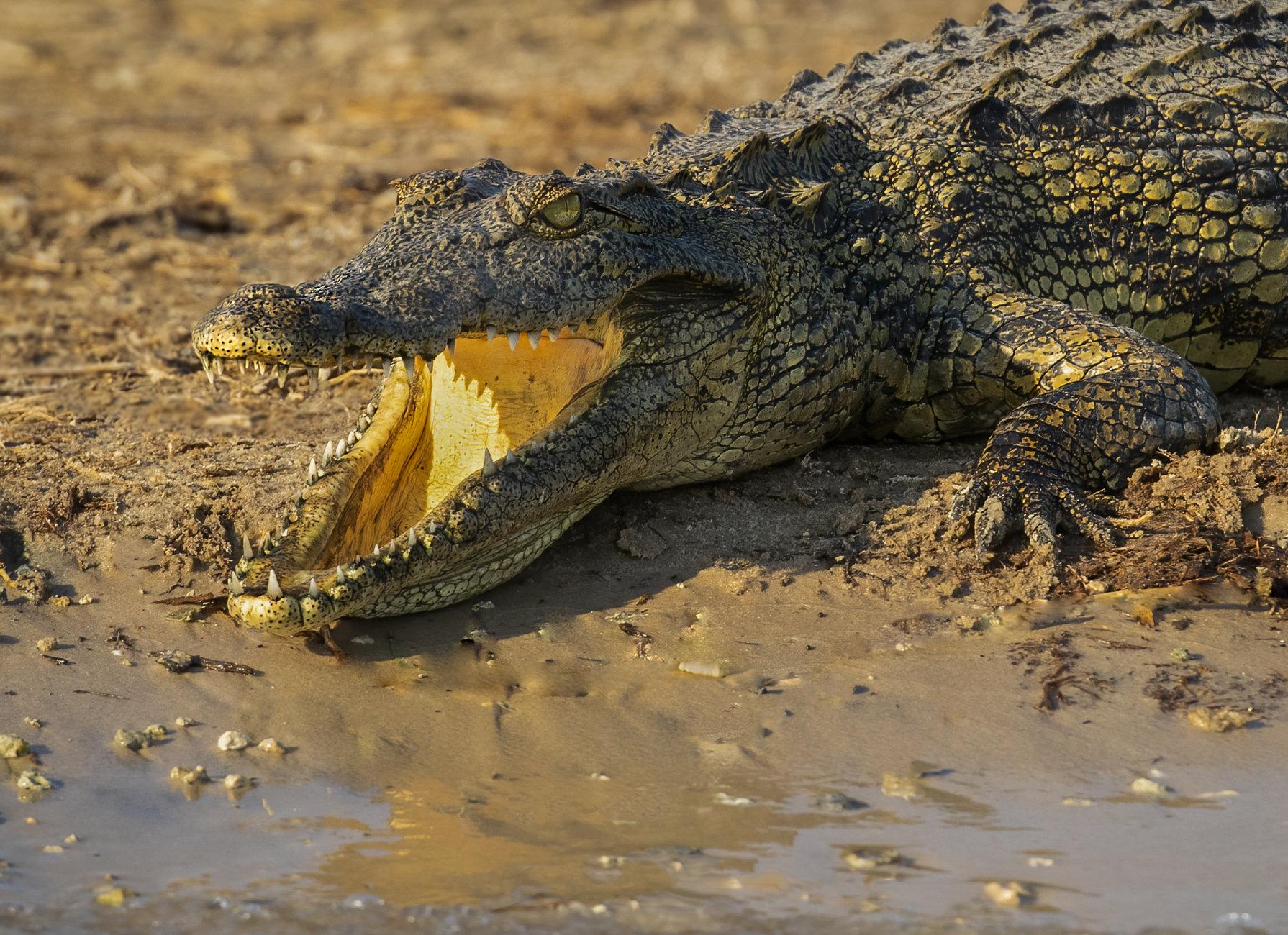 River Chobe Crocodile