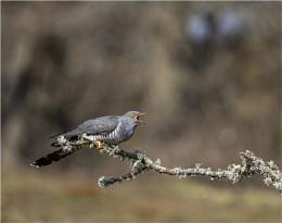 Cuckoo... Cuckoo