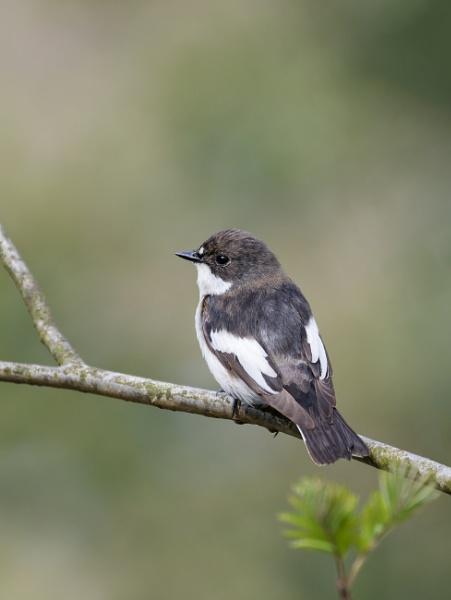 Pied Flycatcher by jasonrwl