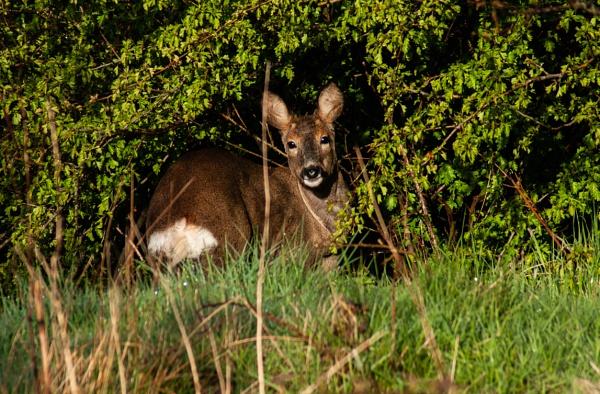 Roe Deer by chriswood