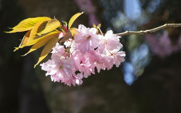 Cherry Blossom by Irishkate
