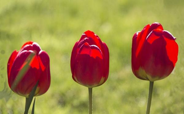 Tulip Shadows by Irishkate