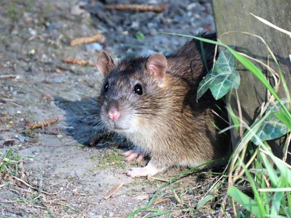 Stover Park Rat by JanOByrne