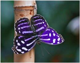 A Blue Wave Butterfly (Myscelia cyaniris)  (Best viewed large)