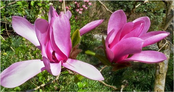 Magnolias - 2 by JuBarney