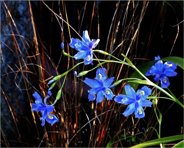 Iris tectorum variegata cruella by JuBarney
