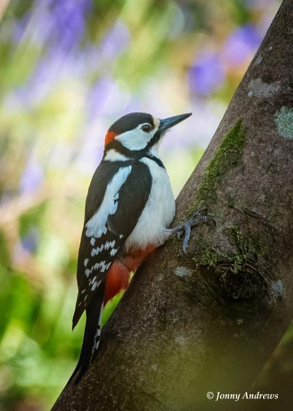 Great Spotted Woodpecker ( Male ) by JonnyNI