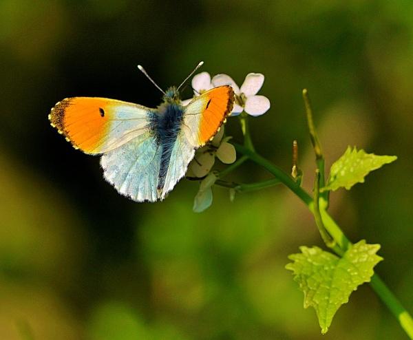 Orange- tip Butterfly by georgiepoolie