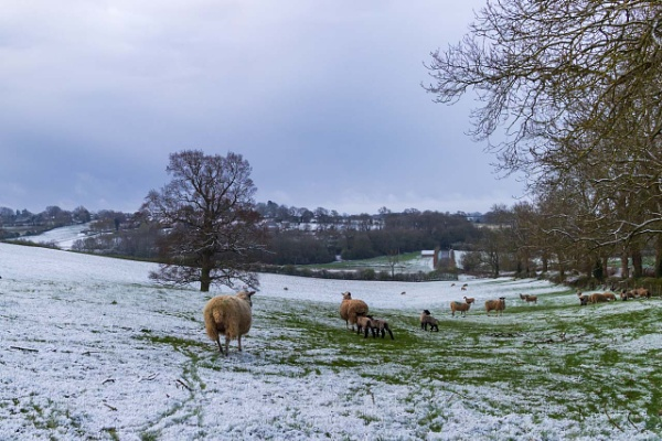 Snowy sheep by CarolAnnPhotos