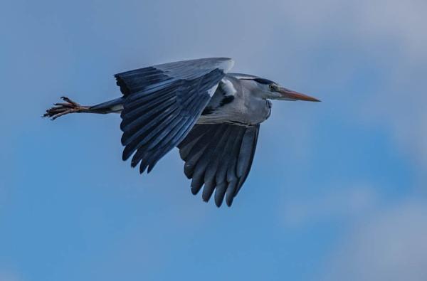 Herron in flight. by MikeGarrattPhotography