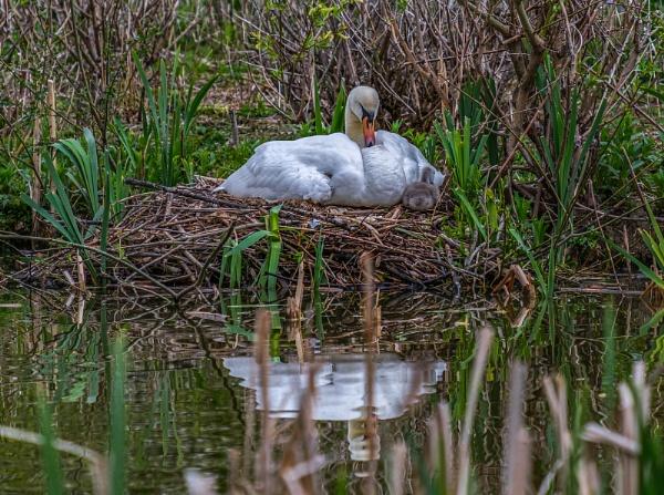 Swan & Cygnet by MikeGarrattPhotography