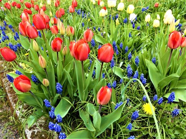 tulips by jenny007
