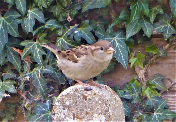 sparrow by jenny007