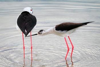 Common stilt couple
