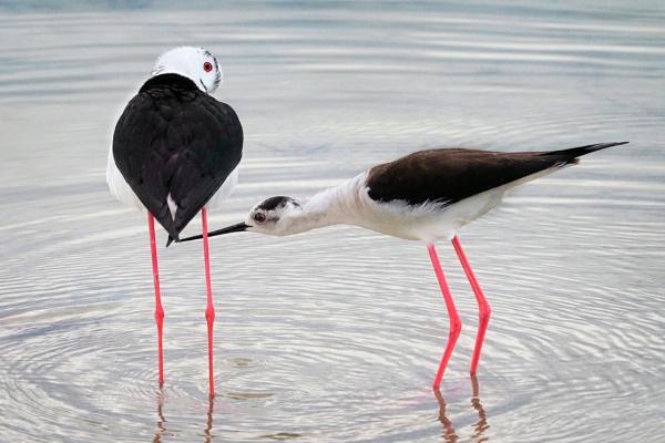 Common stilt couple by MAK54