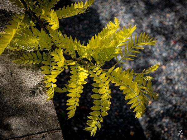 Gleditsia Triacanthos leaves by chataignier