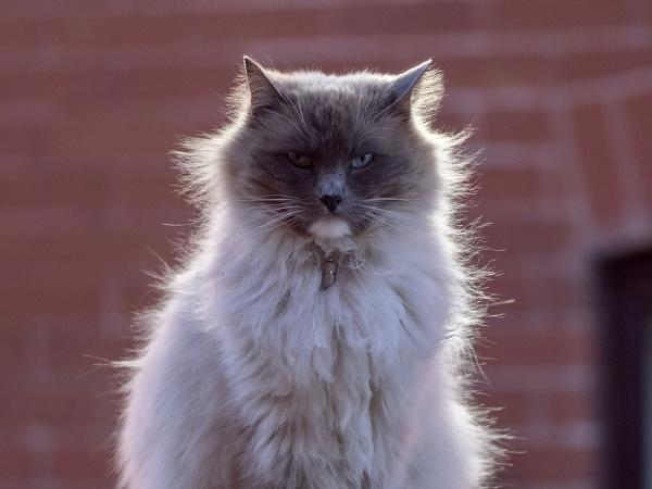 Rag Doll Cat by victorburnside