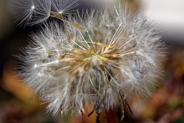 dandelion seedhead by retroman