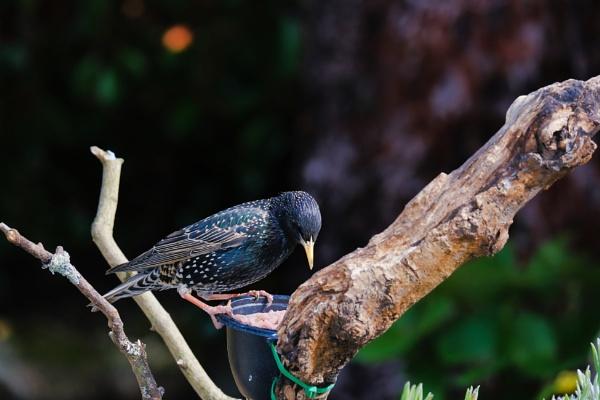 Starling by phiggy