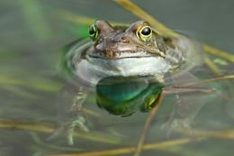 Frog reflection.