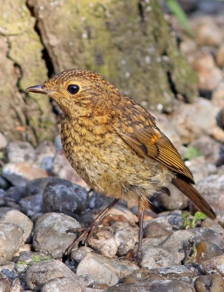 Juvenile Robin. by bobpaige1