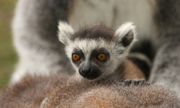 Young Ring-tailed Lemur.