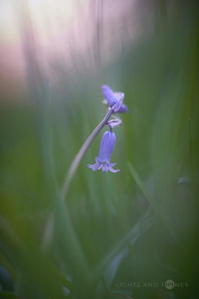 Backlit Bluebell by jarvasm
