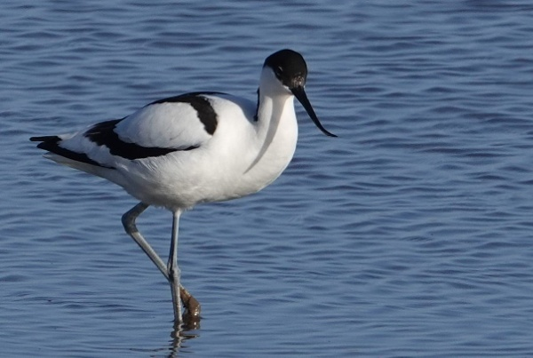 Avocet by frogs123