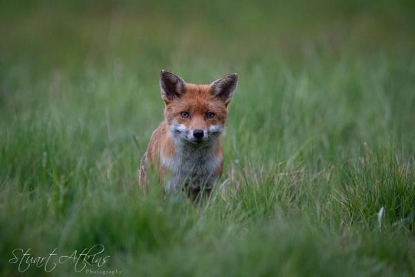 Fox in the grass by StuartAt