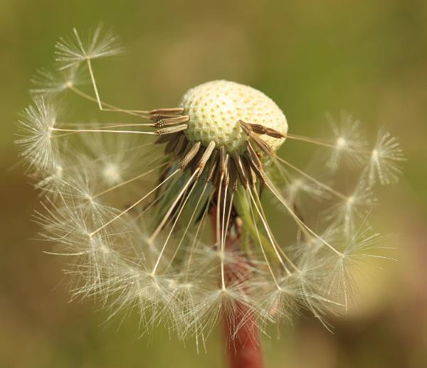 Dandelions - Macro shots by canoncarol