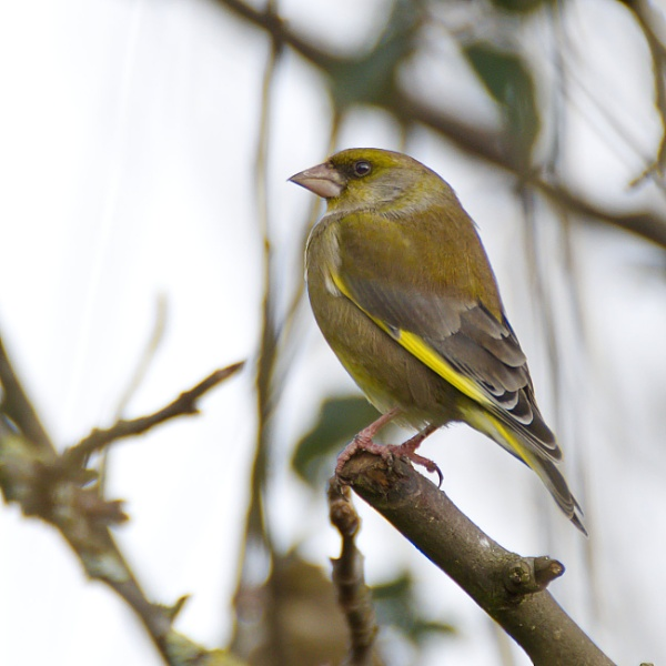 Greenfinch by Mable